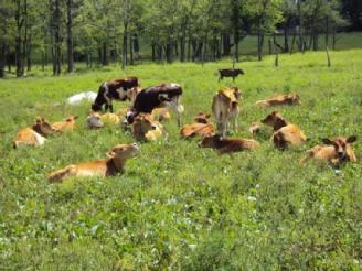 grassy cows